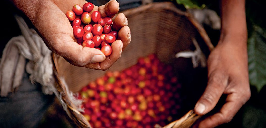 Person holding basket of coffee cherries
