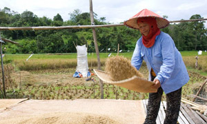 QUALITY GRAINS: A traditional red rice farmer in Sarawak, Malaysia, sieves through her crop.