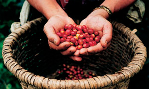 Improving prospects for Guatemala's coffee growers