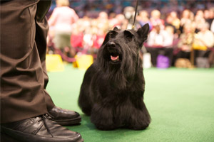 Scottish Terrier Sadie who won the Best in Show title