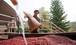 Chinese coffee farmers