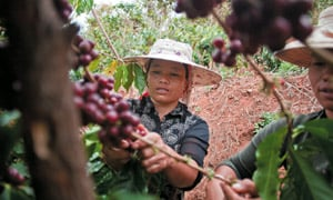 Coffee growers in China