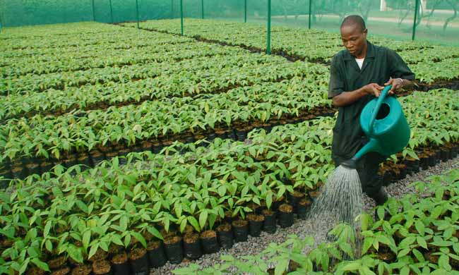 Better quality cocoa plants