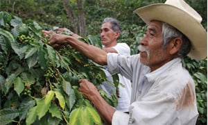 Farmers picking coffee in Columbia