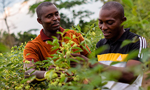 Training farmers in best practice as part of Nestlé's Cocoa Plan