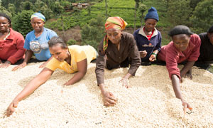 Female coffee farmers in Kenya