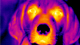 thermal imaging of dog