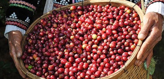 Coffee cherries gathered in China
