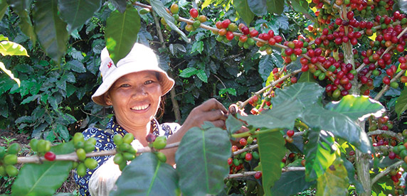 Coffee farmer picking cherries