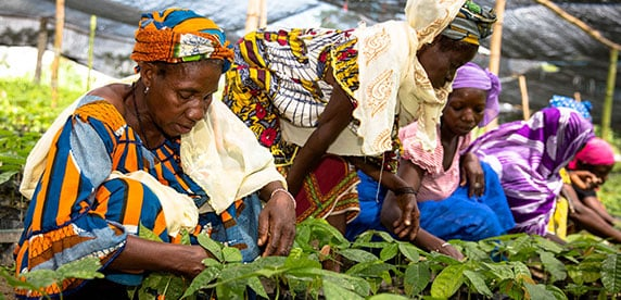 women taking care of cocoa plantlets