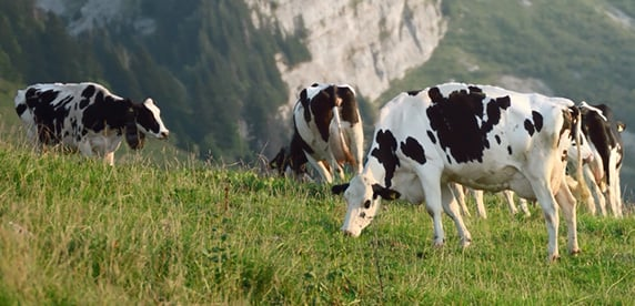 biogas cow - photo #41