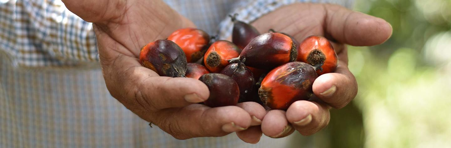 Palm oil seeds in male hands