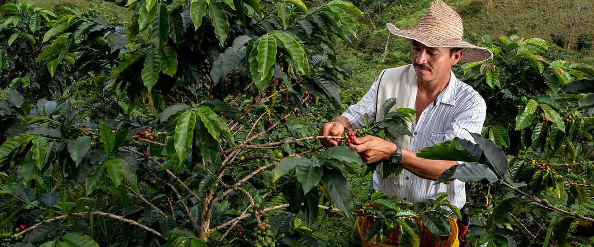 Farmer picking coffee cherries